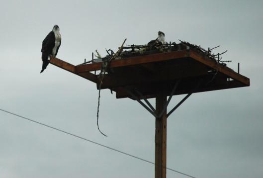 Osprey nest; Worried parent buzzing my head in next pic.