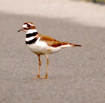 "Killdeer...""my nest, stay away from my nest!"""