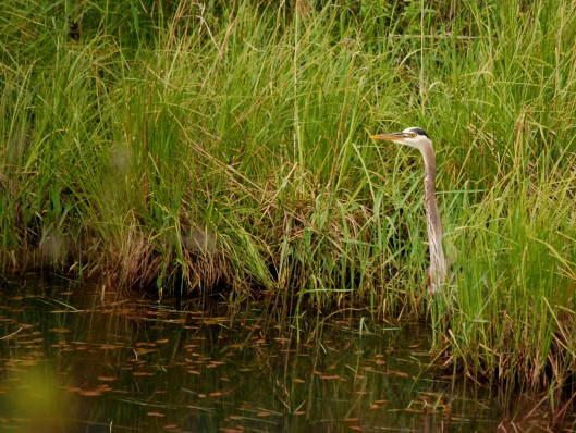 Heron fishing; in next pic, spooked.