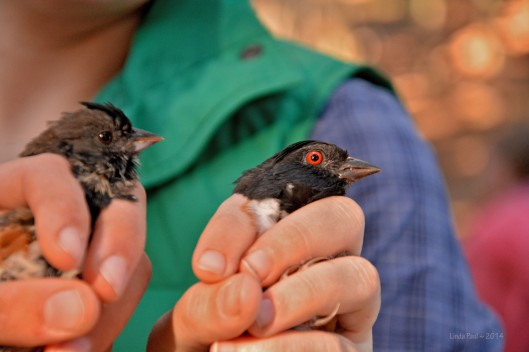 The immature Hammond's Spotted Towhee on the left has a dark patch at the center of its head and soft immature plummage below. It's eyes have not yet gained the striking red characteristic of the adult on the right.