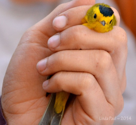 Safe and comforting grip on the Wilson's Warbler