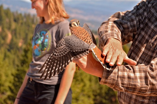 Here he shows off an American Kestrel, North America's smallest falcon.