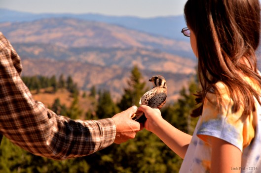 Handing the Kestrel to a young guest to release.