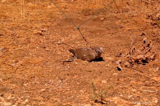A dove, tethered under carefully rigged traps. The trappers inside the blind occasionally jerk the wires, causing the bait to flap and flutter, drawing attention to their compromised situation.
