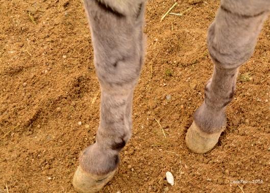 Those sturdy little burro hooves!