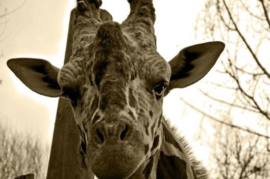 Giraffebw