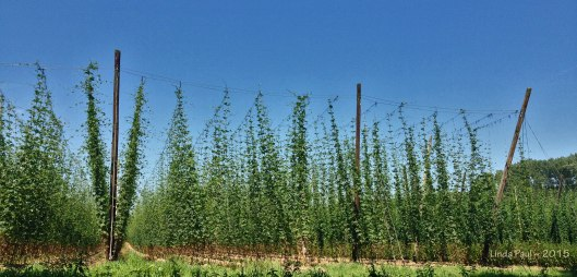 Hops fields, very common sight.