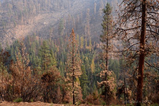 Fire is erratic. It burns fiercly hot in some areas and leaves other little patches untouched. Here we see unscathed forest complete with fall colors of the larch trees.