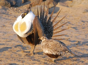 sage-grouse_photos.Par.61656.Image.225.155.1.gif