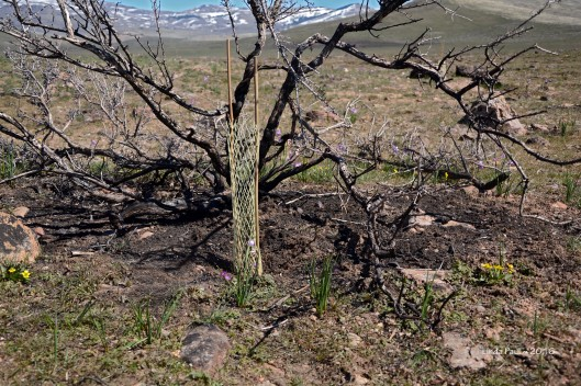 Bitterbrush seedling planted and caged in the lee of a burned Bitterbrush skeleton.