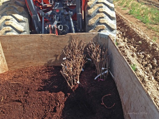 The vines were shipped in bundles with their roots encased in damp sawdust.
