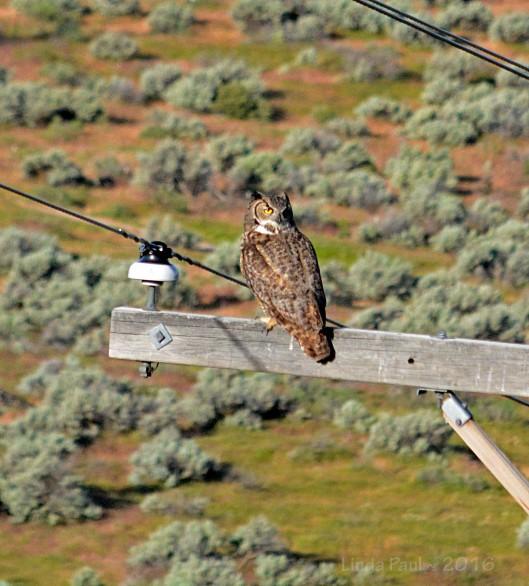 Good morning Mr. Great Horned Owl!