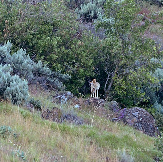 A coltish coyote was cavorting below the rocks