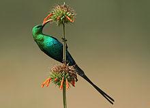 220px-Nectarinia_famosa_(Malachite_Sunbird)